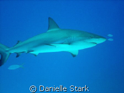 purty lil shark in roatan by Danielle Stark 